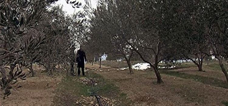 Nepoznati počinitelj iz maslinika u vlasništvu 85-godišnjaka pobrao i otuđio masline