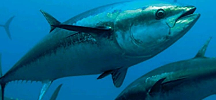 ZANIMLJIVA IDEJA Plivanje s tunama kao turistička atrakcija u Kalima