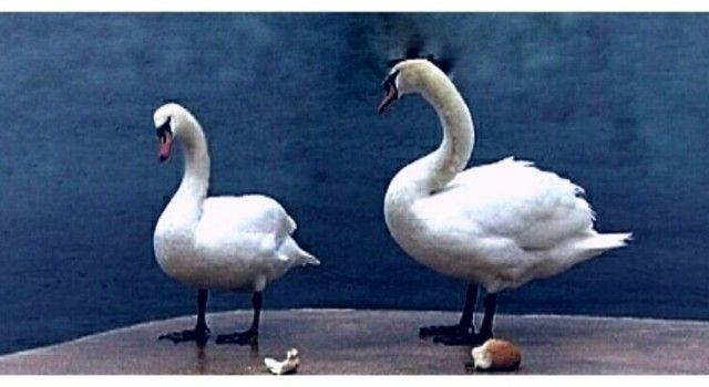 PREKRASNI LABUDOVI U FOŠI I NA KOLOVARAMA Zadrani im nose komadiće kruha