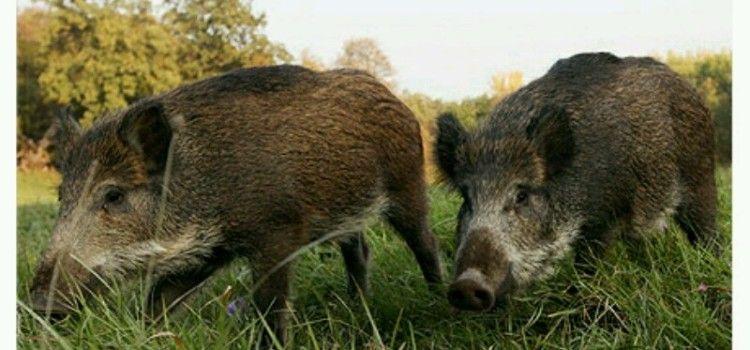 SUDAR U TUSTICI Pred automobil izletjele dvije divlje svinje!