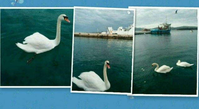 Prekrasni bijeli labudovi uveseljavaju građane na biogradskoj rivi