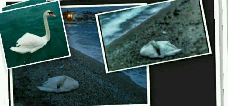 DRAMA NA VIRU Prekrasni labud gušio se zbog ozljeda, veterinari ga odveli na operaciju!