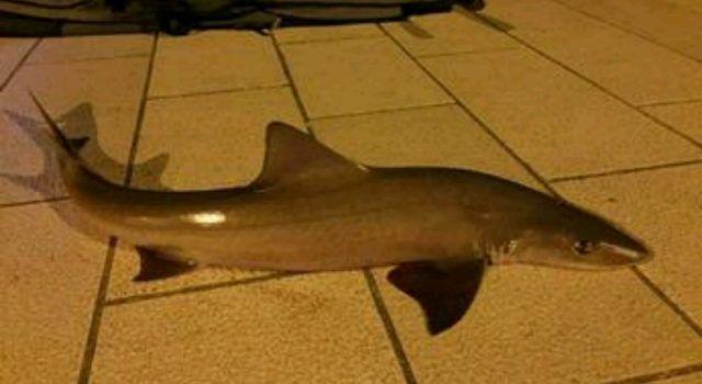 Zadarski ribar iz mora blizu Orgulja izvukao morskog psa