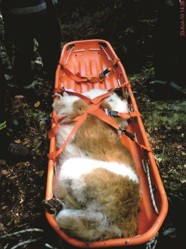 bernardinac - uspavan pa izvucen pomocu alpinistickog korita-768x1024