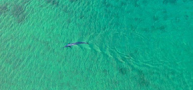 LAŽNA UZBUNA Na Viru nije viđen morski pas nego bezopasni iglan