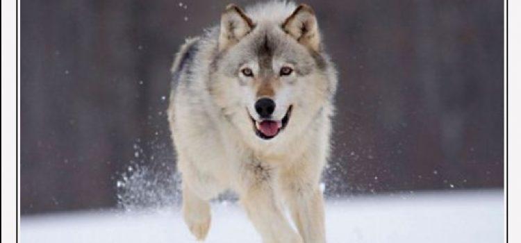 OSTAVIO OTROVANO MESO 52-godišnjak kod Gračaca otrovao vuka, lisicu, orla…