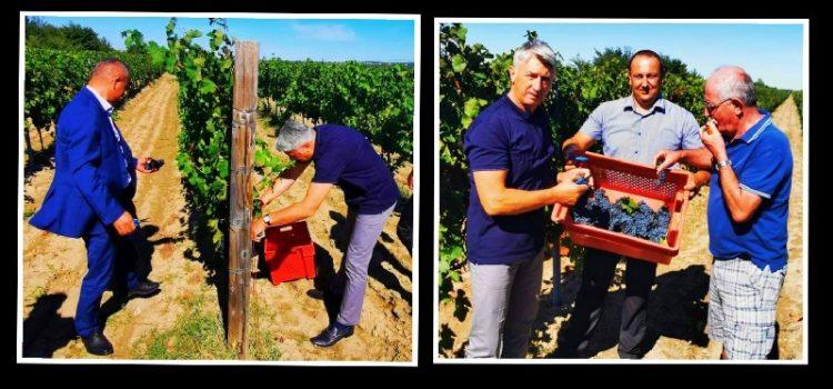 Župan Longin odbio samoizolaciju, pa u lakiranim cipelama bere grožđe u Nadinu