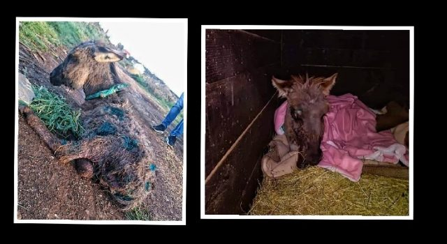 Spašen magarčić ostavljen da ugine; Nađen u ranama, izgrižen i onemoćao