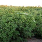 Zadarska policija otkrila do sada najveću plantažu marihuane na području županije